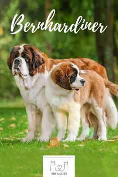 Discover recipes, home ideas, style inspiration and other ideas to try. Airedale Terrier, St Bernard Dogs, Cool Suits, Pretty, Saint Bernards, Tricks, Portraits, Animals, Dogs