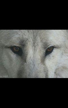 The most beautiful; Alaskan Tundra Wolf