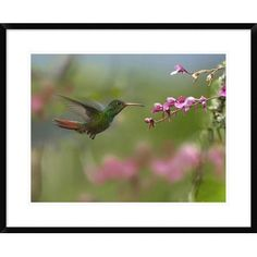 Global Gallery Rufous-Tailed Hummingbird Hovering Near Flower, Ecuador by Tim Fitzharris Framed Photographic Print Size: