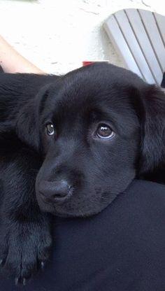black lab puppy by StarMeKitten