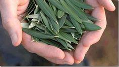 Estudios científicos han demostrados que los beneficios que aporta el extracto de hoja de olivo son eficaces para tratar diversas enfermedades.    Los beneficios que nos brinda el extracto de las hojas de olivo van desde proteger
