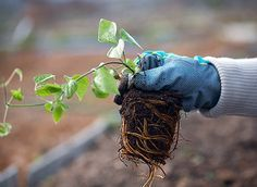 Как правильно посадить клематис. Где и как посадить клематисы. Обсуждение на LiveInternet - Российский Сервис Онлайн-Дневников Clematis, Garden Design, Vegetables, Plants, Beauty, Gardening, Google, Ideas, Nursing Care
