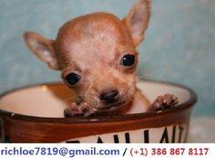 Chihuahua Puppies for Free Apple Head Chihuahua, Chihuahua Love, Chihuahua Puppies, Chihuahuas, French Bulldog, Cute Animals, Pets, Heart Melting, Arkansas