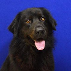Meet Brio, a Petfinder adoptable Newfoundland Dog Dog | Fort Davis, TX | Brio is a big beautiful Newfoundland mix, with a large body and a gentle soul. This giant dog is as...