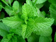 11 Fragrant Plants That Repel Mosquitoes - - Here are eleven beautiful and fragrant plants that repel mosquitoes - keeping your home and garden mosquito free. Natural Mosquito Repellant, Mosquito Repelling Plants, Growing Mint, Growing Herbs, Mint Plants, Cool Plants, Terrace Garden, Herb Garden, Garden Beds