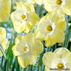 Known for its traditional shape, the Avalon daffodil has a large flower on one stem with a large center cup.  Its light yellow and cream color is bright and cheery. Once established and undisturbed the Avalon will multiply to create more blooms season after season.  Grow in container, fields or gardens. The large cupped daffodils are an excellent cut flower, and blooms in mid spring. (Narcissus)