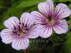 Geranium 'Crystal Lake'.  Måned: Juni-september Højde: 50 cm Placering: Sol-halvskygge  Helt klart en af mine favoritter, der bare blomstrer og blomstrer. Jeg elsker den kølige farve. Den er virkelig smuk; lidt velouragtige blomster i en sart blålilla farve – nærmest en falmet farve.
