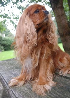 Cavalier King Charles, King Charles Puppy, King Charles Spaniel, Spaniel Puppies, Spaniels, Funny Dogs, Animals And Pets, Doggies, Celebs