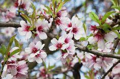 Care sunt plantele menționate în Biblie (14) – MIGDALUL Spirituality, Flowers, Bible, Plant, Spiritual, Royal Icing Flowers, Flower, Florals, Floral