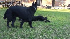 Cachorros Pastor Alemán Negro solido. VENDIDOS