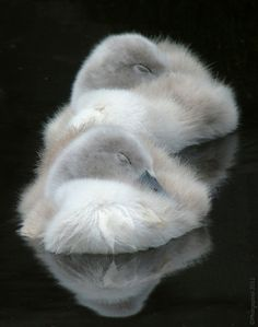 Baby Cygnet Swans dozing in their own fluff.