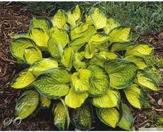 Hosta 'Rainforest Sunrise'- Small. Fairly sun tolerant, bright yellow leaf centers. Hosta of the Year 2013!