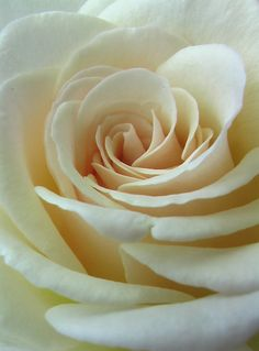 White Rose by ShinsetsuNeko.deviantart.com on @deviantART
