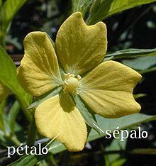 Sépalo - Wikipedia, la enciclopedia libre
