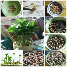How to plant indoor ornamental lemon