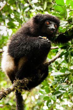 Propithèque de edwards au parc national de Ranomafana à Madagascar