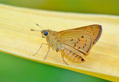 https://flic.kr/p/geeag4 | The Yellow Palm Dart | Cephrenes trichopepla (Female, underside)