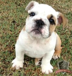 Pin By Barry Stritton On Bull Dogs Dogs Pets French Bulldog