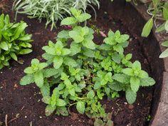 En måte å stoppe røttene på mynteplanter som sprer seg hurtig. Herbs, Plants, Food, Essen, Herb, Meals, Plant, Yemek, Eten