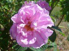 Rose de Puteaux est un arbuste de   120 à 150 cm, portant des roses moyennes ( 7 cm), très parfumées, semi-doubles, légèrement aplaties, d'un coloris rose pur. Elles sont cultivées pour leur parfum ou pour des fleurs séchées. Floraison non remontante. Damascena. Hybrideur inconnu.