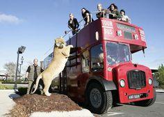 Um 'ligre', filhote de leão e uma tigresa, de 3,65 metros de comprimento e 408 quilos virou atração nas ruas de Londres. O animal chamado 'Hércules' passeou em Abbey Road e por uma estação de metrô da capital inglesa. Ele tem quase a altura de um ônibus. (Foto: Barry Bland/Barcroft Media/Getty Images)