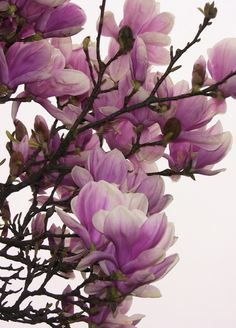I love the way Japanese Magnolias bloom before anything else - and with no leaves out yet!