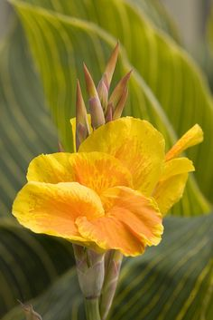 Tropicanna® Gold's flowers are distinguished from other varieties because  the bloom brilliant yellow border surrounding a deep orange center.