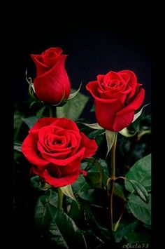 Image via Pink Rose Image via I love roses as they remind me of time spent with my grandmother in her garden. She always had the most beautiful roses that drew in the bees for the gardens Beautiful Rose Flowers, My Flower, Beautiful Flowers, Flowers Gif, Roses Gif, Beautiful Pictures, Red Rose Flower, Purple Rose, Beautiful Gif