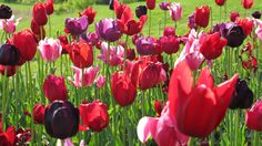 Mothers' Day and the Holland Tulip Festival | Summer Setting