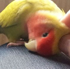 Reminds me of baby she was the sweetest. Her mate was killed and she was hit by . Reminds me of ba Love Birds Pet, Cute Birds, Pretty Birds, Beautiful Birds, Animals Beautiful, Funny Birds, Cute Funny Animals, Cute Baby Animals, Animals And Pets