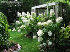 Full size picture of Panicle Hydrangea, Tree Hydrangea 'Limelight' (Hydrangea paniculata) Avenue Garden, Limelight Hydrangea, Planting Flowers, Backyard Adventure, Lawn And Garden, Outdoor Plants, Outdoor Inspirations, White Gardens, Shade Garden