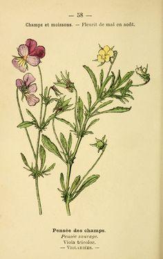 img/dessins fleurs prairies champs bois/dessin fleurs prairies champs bois pensee des champs - viola tricolor - pensee sauvage.jpg