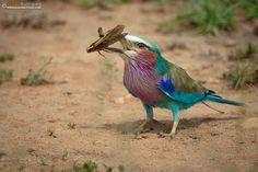 Lilac Breasted Roller - Masai Mara, Kenya. #Africa #wildlife #birding #birds #Africanbirds #roller
