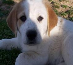ARKANSAS EMMY is an adoptable Anatolian Shepherd Dog in Little Rock, AR. LITTLE ROCK ARKANSAS **FOSTER OR ADOPTION** Emmy is a pretty female Anatolian Shepherd mix pup.� Her dad is believed to be Anat...