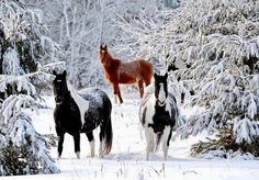 Pretty horses in a forest with snow