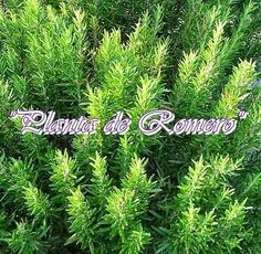 Useful info on growing Rosemary in your garden. Vegetable Garden, Garden Plants, Rosemary Garden, Chicken Quilt, Small Herb Gardens, Simple Minds, Holding Flowers, Italian Garden, Aromatic Herbs