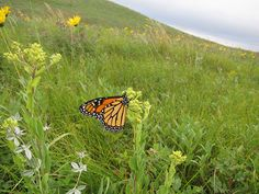 Monarch butterfly on the Sullys Hill Game Preserve, North Dakota. Image Credit: U.S. Fish and Wildlife Service.