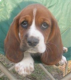 cute basset hound pictures - Google Search