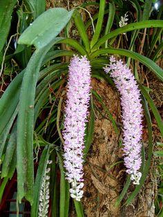 orquideas parasitas
