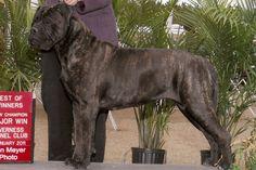bull mastiff | bull-mastiff-4.jpg