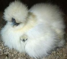 Silkie Chickens: Poultry | eBay