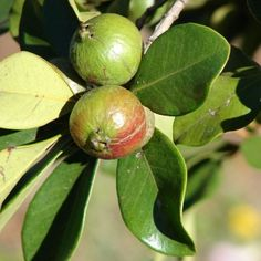 Invasive Species South Africa - Protecting Biodiversity from Invasion - Strawberry guava Red Fruit, Exotic Fruit, Strawberry Guava, Invasive Plants, Evergreen Shrubs, White Flowers, South Africa, Tropical, Beautiful