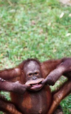 Orangutan! You can't tell me, this doesn't ... make you smile?