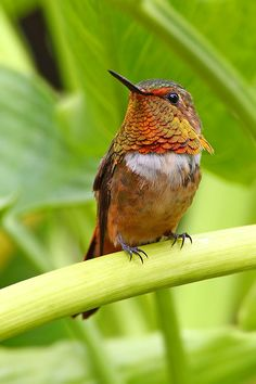 The Scintillant Hummingbird (Selasphorus scintilla) is the smallest hummingbird within its range, which includes only the mountains of Costa Rica and western Panama. All Birds, Little Birds, Love Birds, Beautiful Birds, Tiny Bird, Humming Birds, How To Attract Hummingbirds, Colorful Birds, Bird Watching