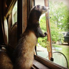 Ferret Takes Cross-Country Train Trip
