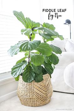 The fiddle leaf fig tree is a perfect indoor plant that is a low maintenance plant with beautiful large leaves. Widely used among interior design settings, this is a must-have piece! livelaughrowe.com