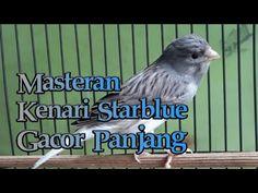 Masteran Kenari Starblue Gacor Panjang - YouTube Love Birds, Youtube, Animals, Animales, Animaux, Animal, Animais, Youtubers
