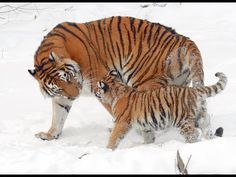 Saving the tiger means saving mankind. Not only is tiger a beautiful animal but it is also the indicator of the forest's health. Wild Tiger, Tiger Cub, Big Cats, Cats And Kittens, Panthera Tigris Altaica, Tiger Species, Clouded Leopard, Babe, Baby Wallpaper