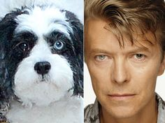 David Bowie's dog Max has different coloured eyes like his owner