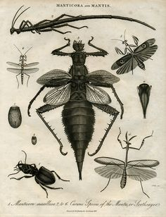 manticora & mantis